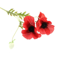 60cm Poppy Spray
