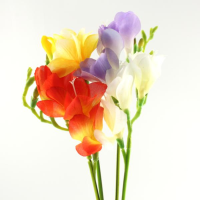 Freesia Single